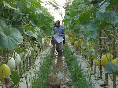 Benih Kacang Panjang Yg Baik teknis budidaya tanaman melon petani hebat