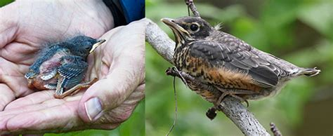 imgs for gt baby robin bird fell out of nest