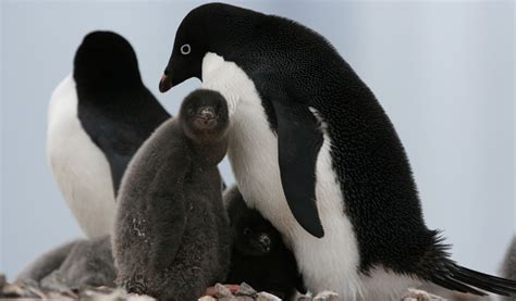 a happy death penguin b00gedd40k penguin surprises in antarctica these guys just keep amazing us wwf uk blog