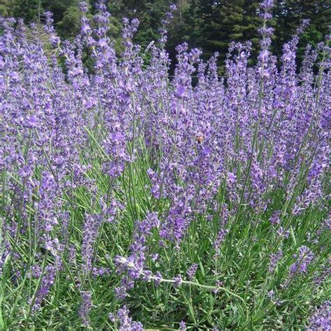 lavandula angustifolia twickel purple lavender buy