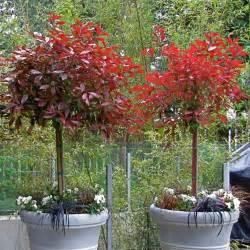 Green Topiary Balls - photinia topiary plants photinia red robin buy photinia topiary