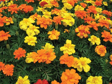 marigolds shade french marigold summer annuals