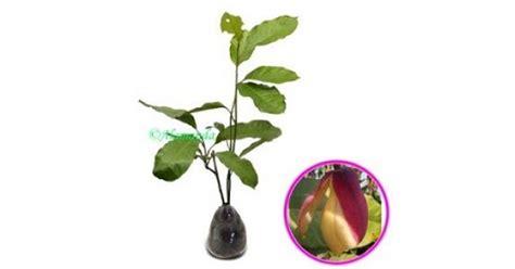 Tanaman Hias Cempaka Kelopak Ungu jual tanaman cempaka kelopak ungu hp 085608566034