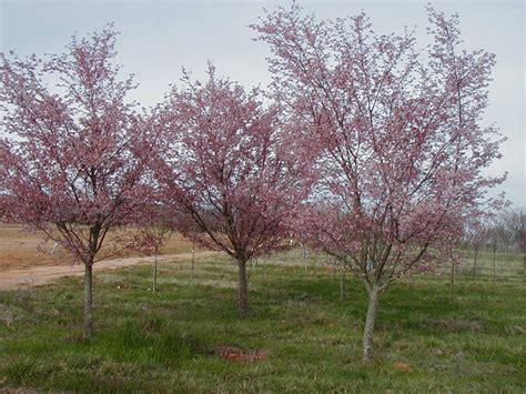 cherry tree growth rate okame cherry
