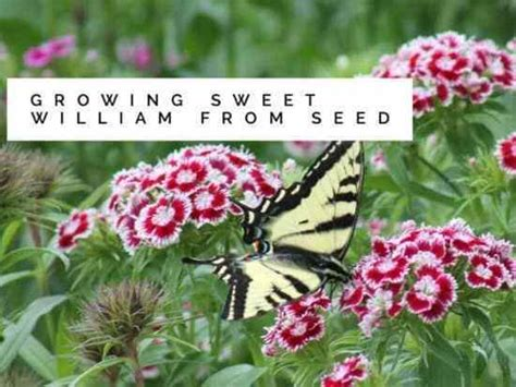 sweet william growing  seed gardening channel