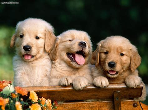 the forever puppy an golden retriever puppies wallpaper www proteckmachinery com