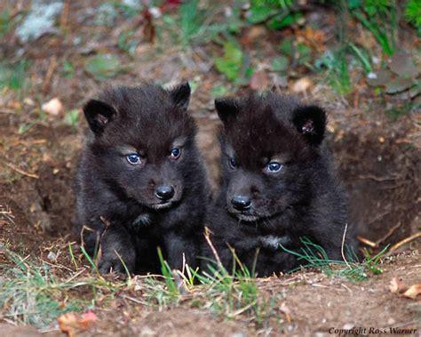 wolf puppies wolf puppies