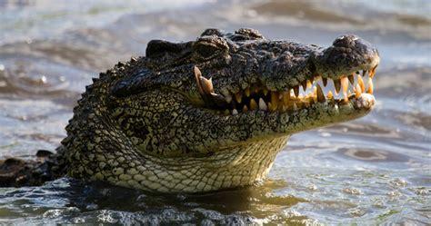 Cuban Crocodile (Crocodylus rhombifer) | about animals