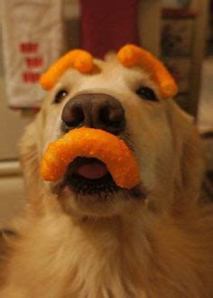 silly golden retriever animals on o connell golden retrievers and dogs