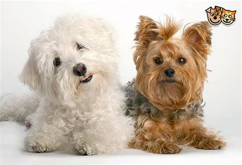 bichon frise yorkie bichon frise eastleigh hshire pets4homes