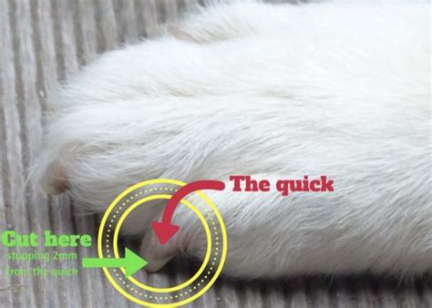 how to cut black nails how to cut dogs nails without or fear canine habit