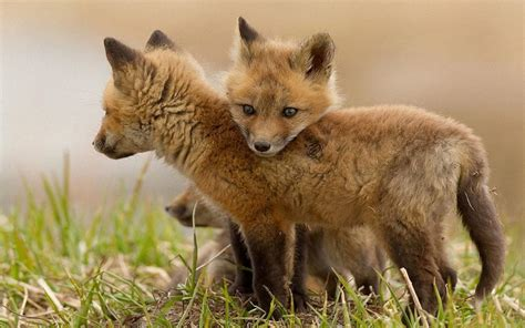 cute baby foxes pixdaus