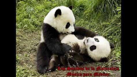 musica relax oso panda dario  youtube