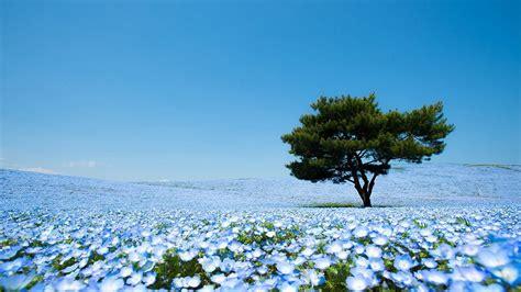 go see 4 5 million baby blue eye flowers at hitachi seaside park in japan spoon tamago