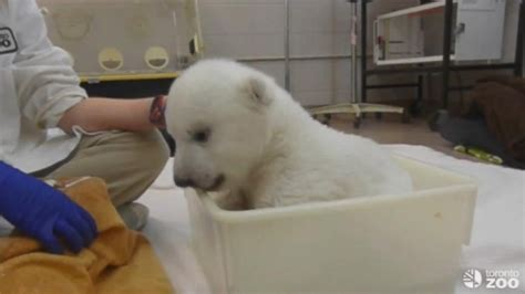 two polar bears in a bathtub cute bear cub video polar bear cub takes his first bath