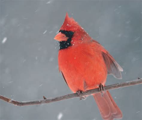 animal facts northern cardinal canadian geographic