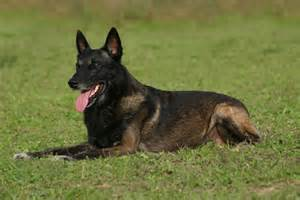 belgian shepherd malinois for sale uk the belgian malinois great guards of the white house