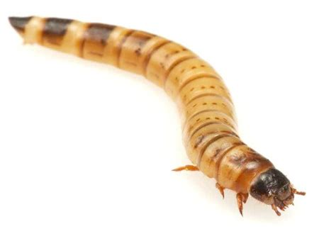 swell livefood giant mealworms swell reptiles