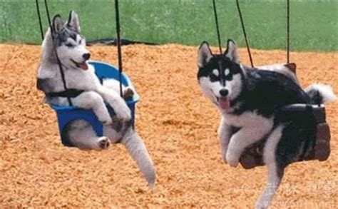 animal baby swing 呆萌哈士奇搞笑图片 狗狗图片 鸟百科