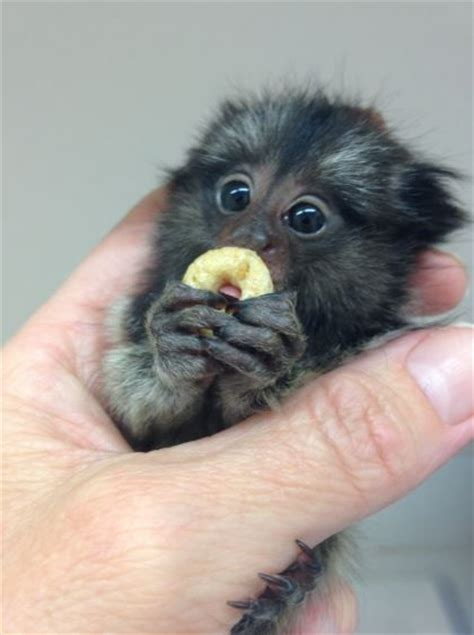 finger monkey facts pygmy marmose for sale