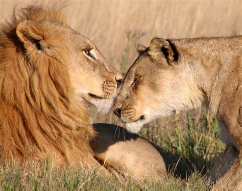 Lion (Panthera leo) - Wildlife ACT