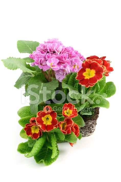primula rossa fiore primule primula rosa rossa temperato fiore con radici