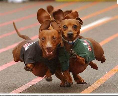 buda wiener races pin by gabrielle elliot on critters 8 diggity dogs