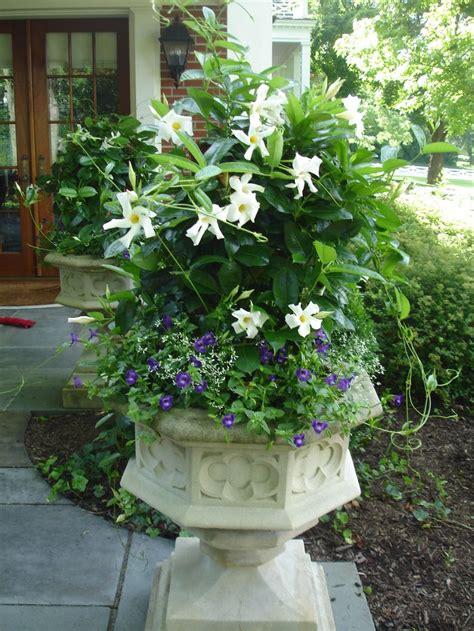 white mandevilla  torenia   container