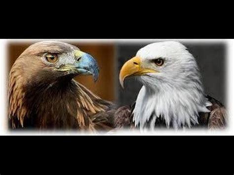 imagenes de agilas blancas aguila calva vs aguila real pelea youtube