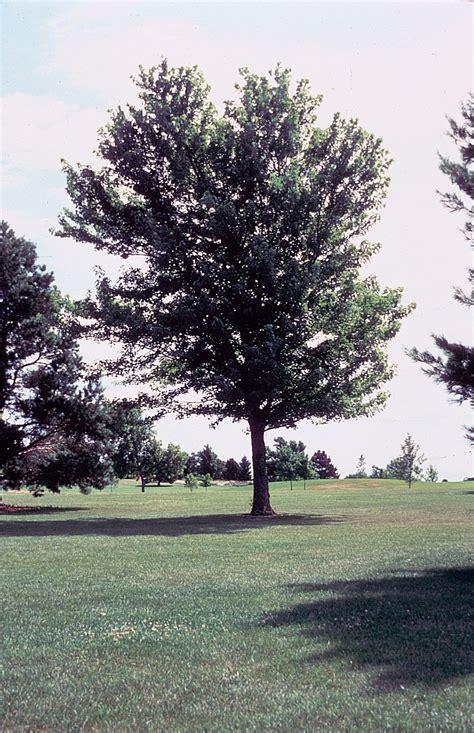 maple tree usda large image for acer saccharinum silver maple usda plants