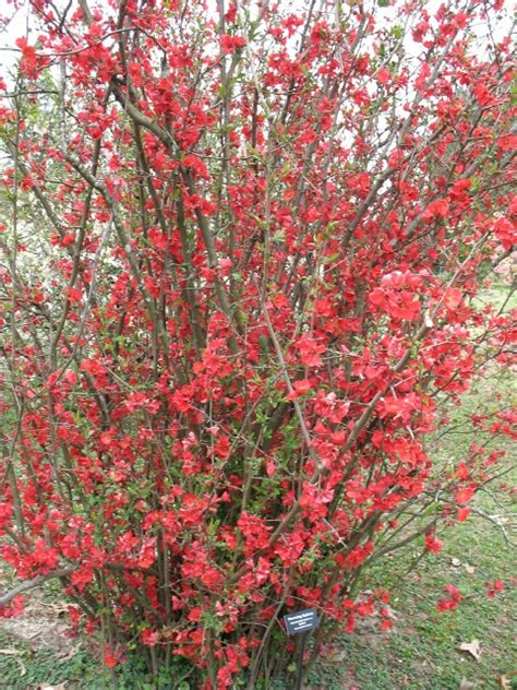 chaenomeles speciosa quot spitfire flowering quince
