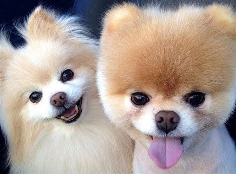 smallest pomeranian breed best small dogs top picks for small breeds