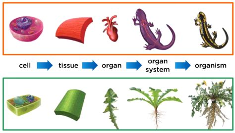 Chapter Outline From A Cell To An Organism by Unit 1 Chapter 1 Lesson 2 Cells To Organisms Flashcards By Proprofs