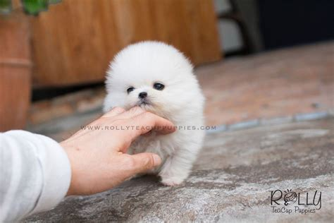 snow white pomeranian snow white pomeranian rolly teacup puppies