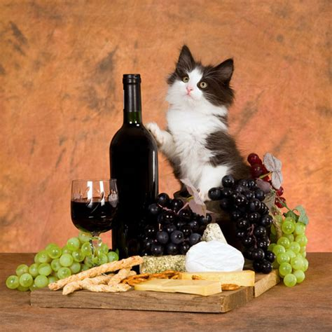 can dogs drink wine no cats should never drink wine or catster