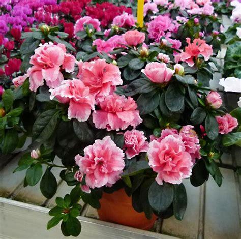 coltivazione azalea in vaso azalea o rhododendron ericaceae come curare e