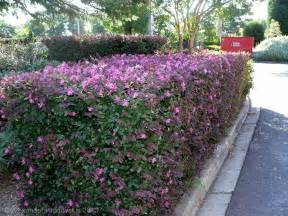 aggregata plants gardens hedging plant loropetalum