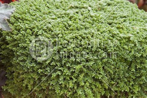 Green Carpet Rupturewort Seeds by 25 Best Ideas About Herniaria Glabra On Pinterest