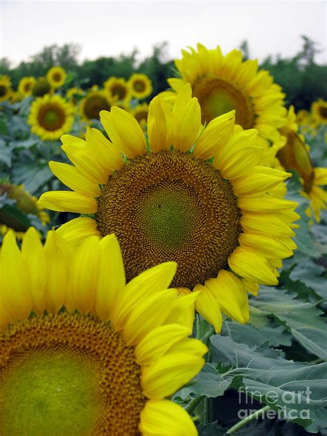 Medium Sun Flower 6 Cav I sunflower series photograph by amanda barcon