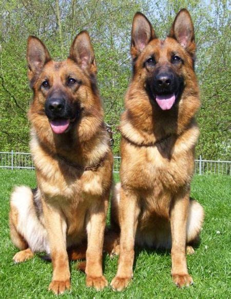 how much is a german shepherd how much do german shepherds usually cost