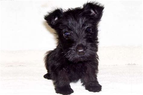 puppies for sale in manhattan puppies for sale for sale in york beautiful terrier puppies breeds picture
