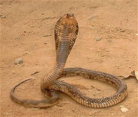 196 gyptische kobra