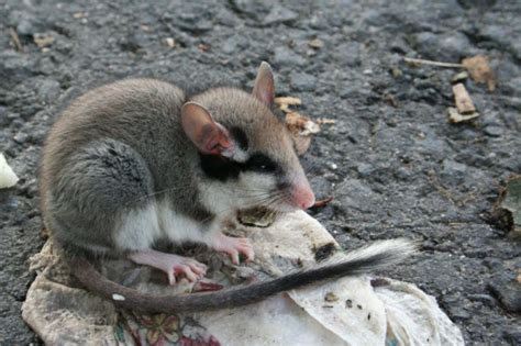imagenes de la familia topo y el liron l 233 rot l 233 rot commun loir l 233 rot loir des greniers rat