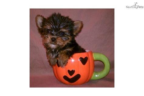 lil yorkies for sale terrier yorkie puppy for sale near mcallen edinburg 3dc5df97 4331