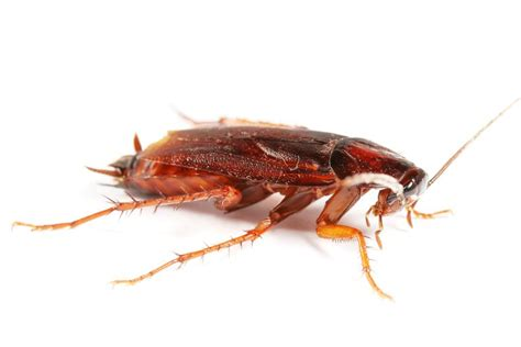 is it possible to have one bed bug do bugs crawl in people s ears