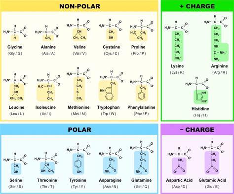 diagram of amino acid amino acids bioninja