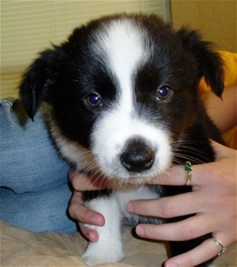 border collie australian shepherd mix puppies australian shepherds border collie mix australian shepherd tips australian shepherd tips