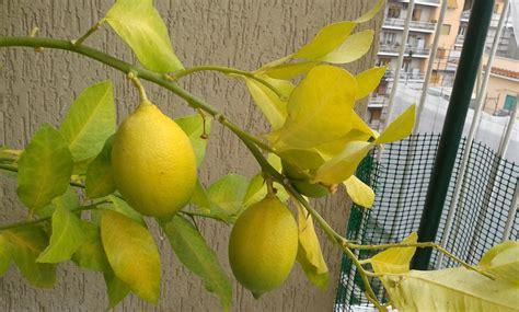 foglie gialle limone vaso limoncino ingiallito perde foglie agrumi 2