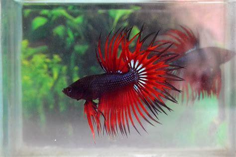 king bett king crowntail betta fish