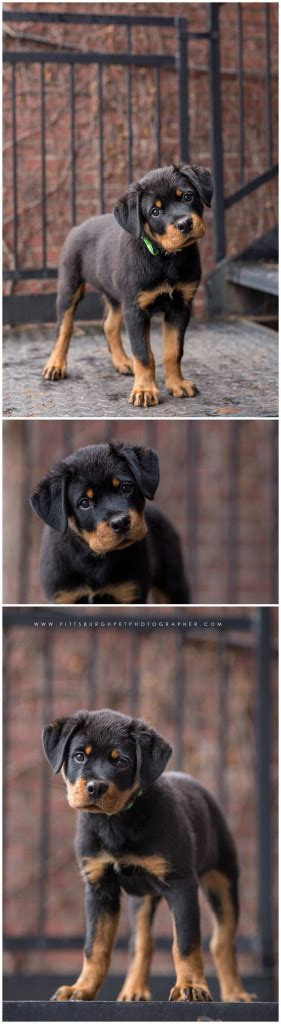 rottweiler puppies pittsburgh brutus the rottweiler puppy pittsburgh photography 187 paw prints pet portraits